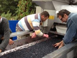 Picking through the grapes at El Regajal , KAK - November 2013