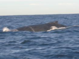 The body of the humpback whale., Michael O - June 2008