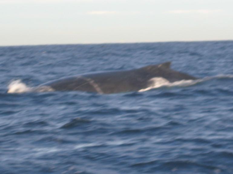 Humpback Body - Sydney