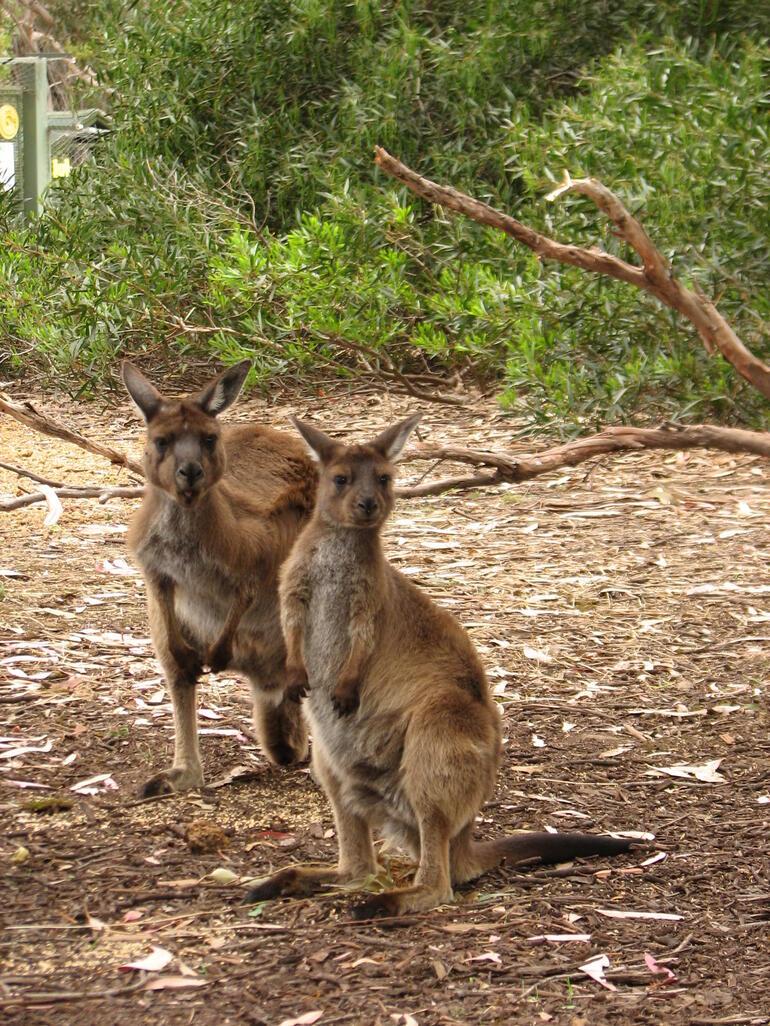 Kangaroos up close! - Adelaide