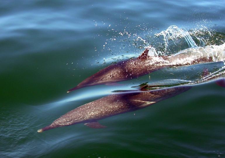 Spotted Dolphins - Puerto Vallarta