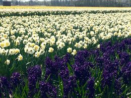 Hyacinth and Daffodil field , parksakry - April 2016