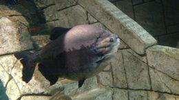 Plump fish, Josh - February 2015