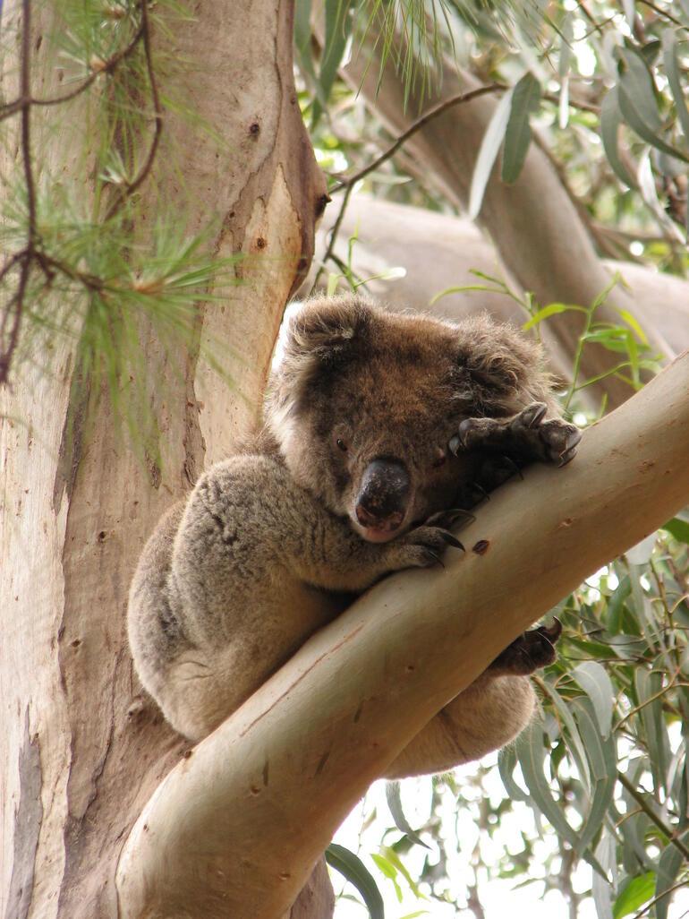 Cute koala - Adelaide