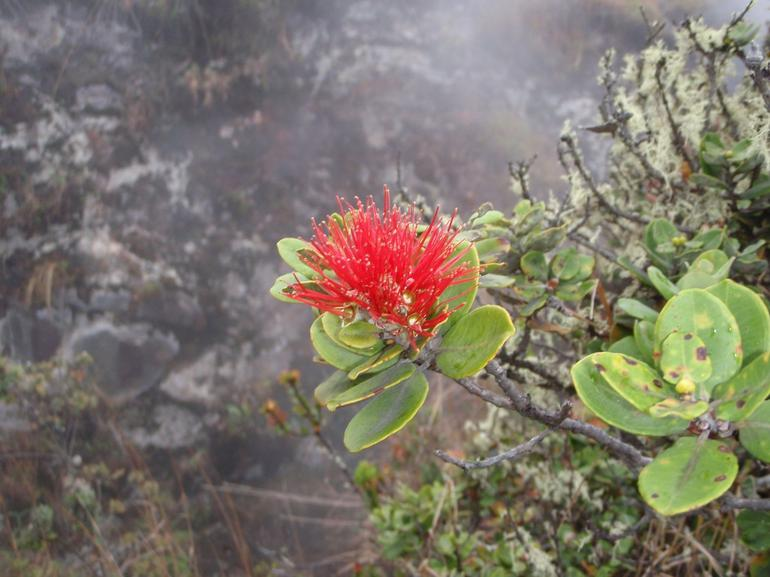 Lehua Blossom - Big Island of Hawaii