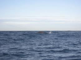 Another humpback whale's body., Michael O - June 2008