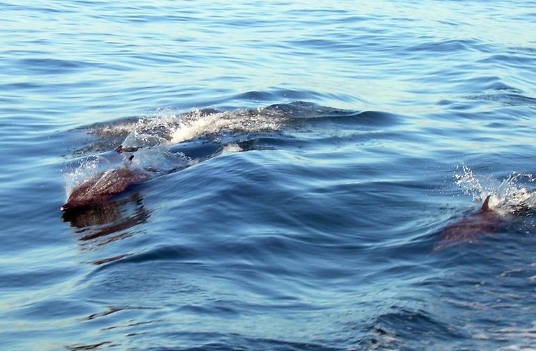 More Spotted Dolphins - Puerto Vallarta