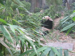 Panda feeding time at the River Safari , Marion M - November 2013