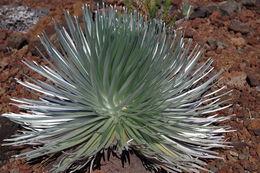 the rare silver sword plant of Haleakala , Barbara J K - July 2016