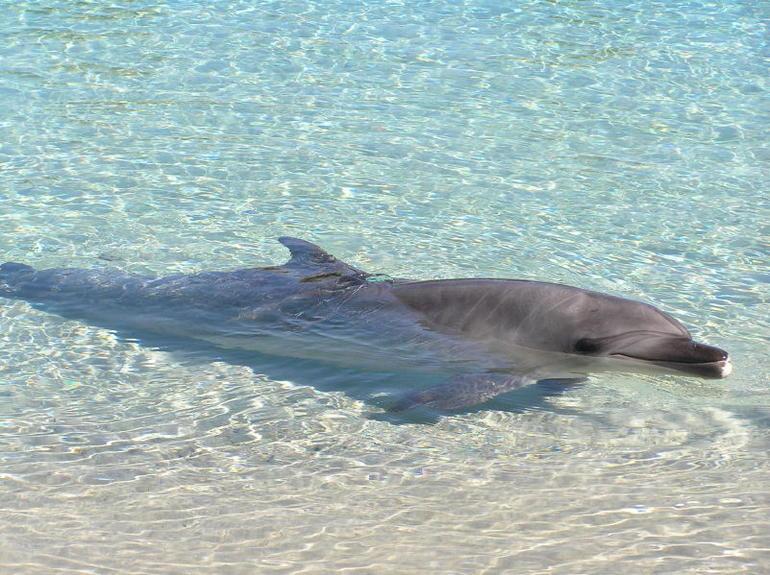 Dolphin, Tangalooma Resort - Brisbane
