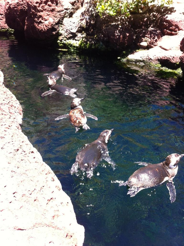 Little penguins - San Diego