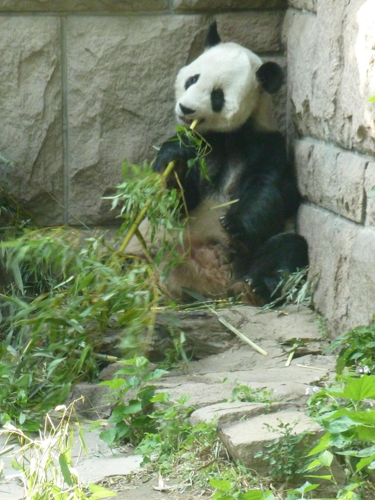 Panda zoo - Beijing