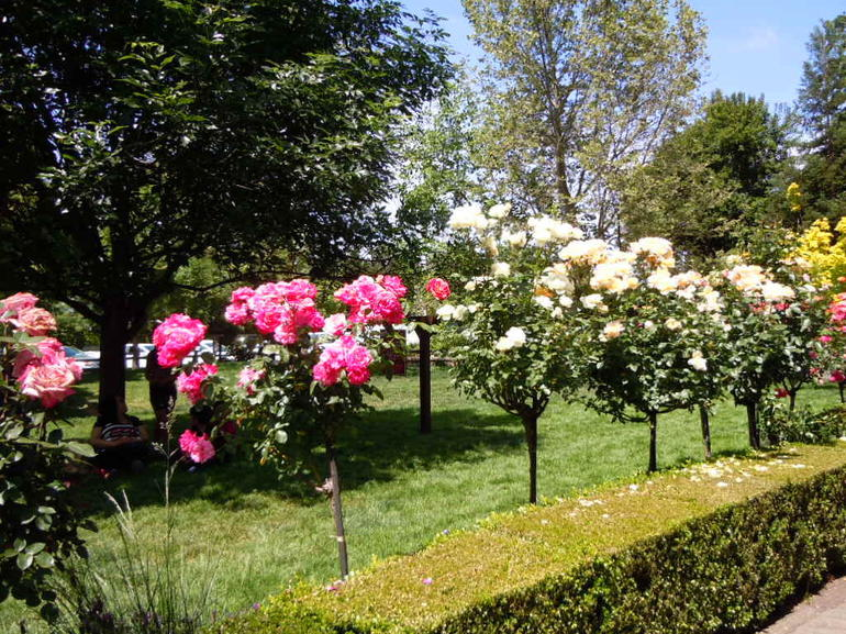 Rose Trees at V. Sattui winery where we had lunch. - San Francisco