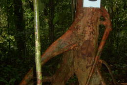 aptly named elephant tree , Denise C - April 2012