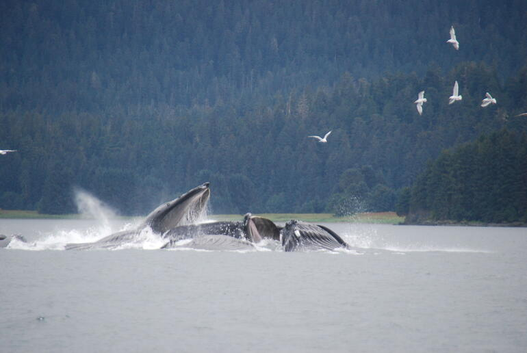 bubble net feeding of humpback whales - Alaska