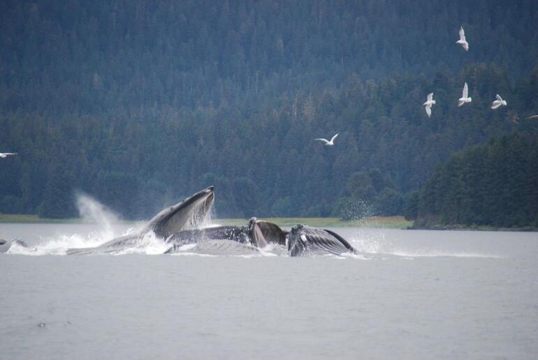 bubble net feeding of humpback whales - Juneau