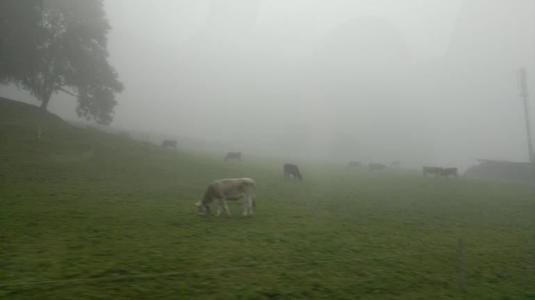 Cows - Zurich