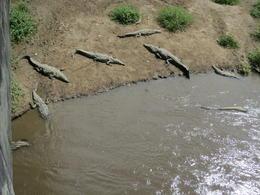 Crocodiles were all under the bridge - November 2012