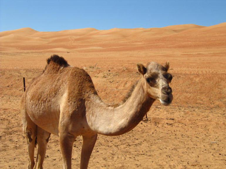 Camel - Oman