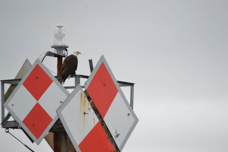 Eagle watching us watch it - Ketchikan