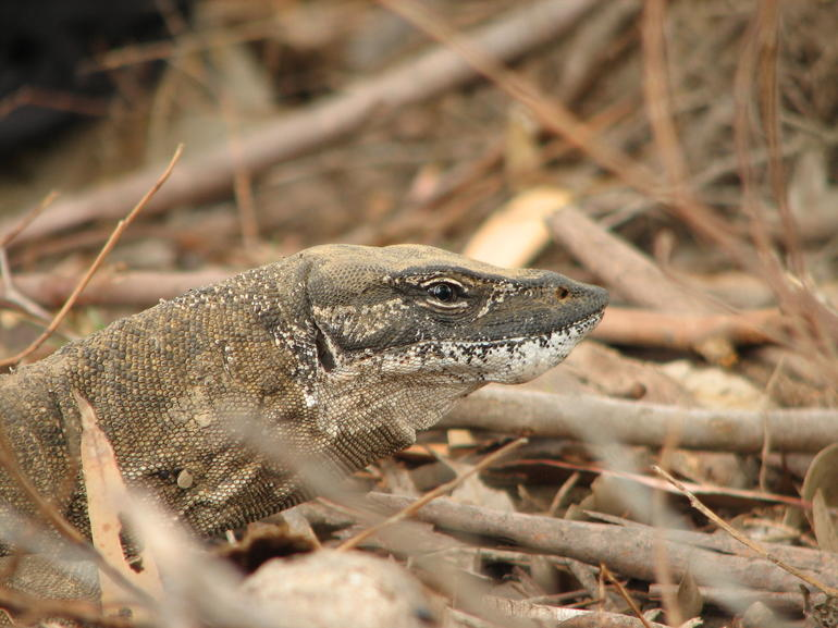 Goanna lizard - Adelaide