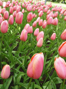 pink tulips , Darien C - May 2012