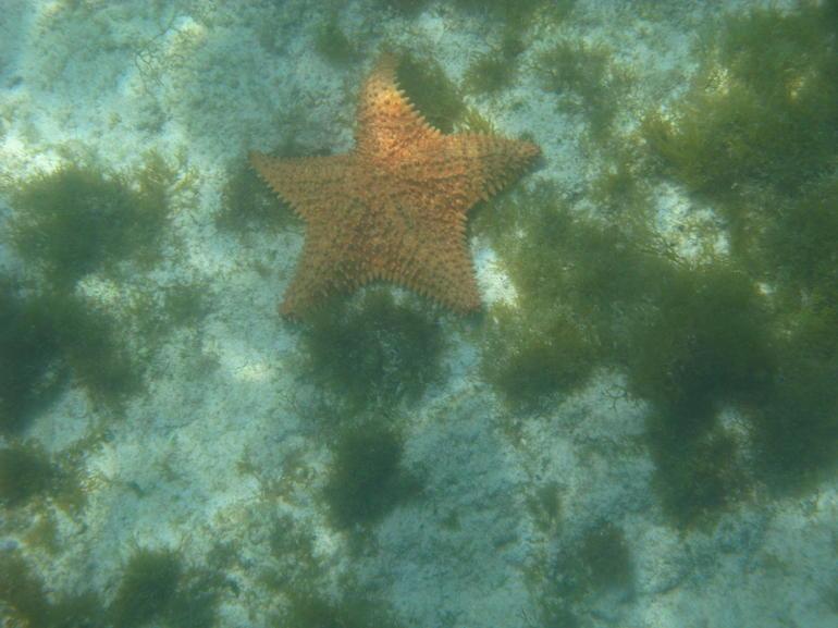 Starfish - Aruba