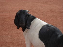 Goat, IanH - August 2011