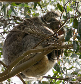 This was a wild Koala high up in tree. , Don W - July 2015