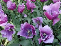 son lso tulipans de keukenof , an maria c - May 2014