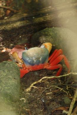 Rainforest poisonous crab! , Barbara D - August 2011