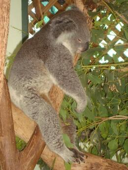 Have a picture standing next to the koalas., Gabrielle H - April 2008
