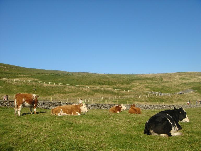 Idling Cattle - Dublin