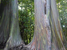 Rainbow eucalyptus trees on the side of the road, Laura All Over - January 2013