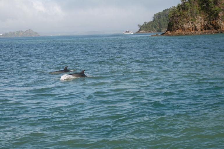 Family of Dolphins - Bay of Islands