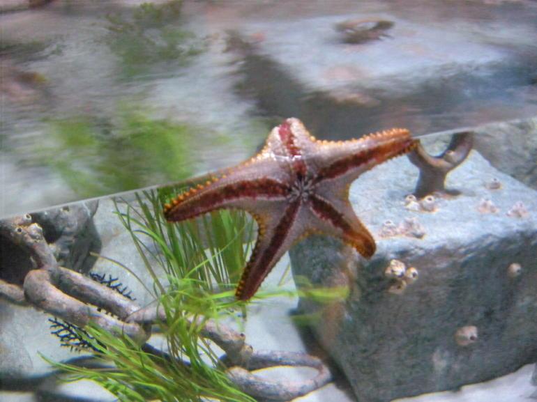 Starfish - Phoenix