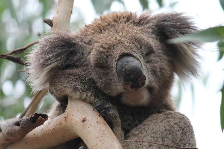 Wild Koala - Melbourne