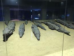 Mummified Crocs at Kom Ombo , Elyse R - October 2016