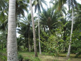 Lots of bananas and coconut trees, Patricia P - December 2011