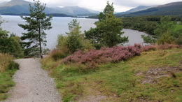 View of Loch Loman and heather during the short hike , Joan R - November 2015
