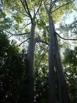 Rainbow eucalyptus trees, Laura All Over - January 2013