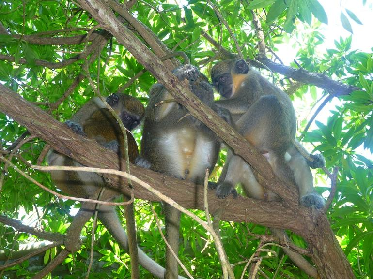 Monkeys - Barbados