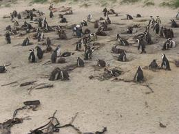 The Penguin colony, Cape Point, Hava L - July 2008