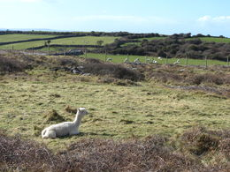 Alpaca farms near the Cliffs of Moher , Nancy B - April 2015