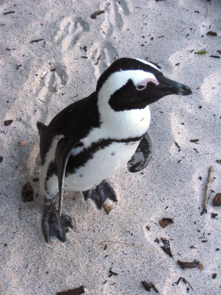 Boulders Beach Penguins - Cape Town