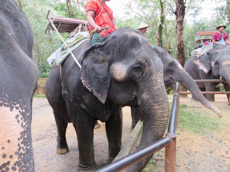 Elephant - Phuket