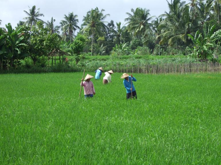 Rice Fields - Bali