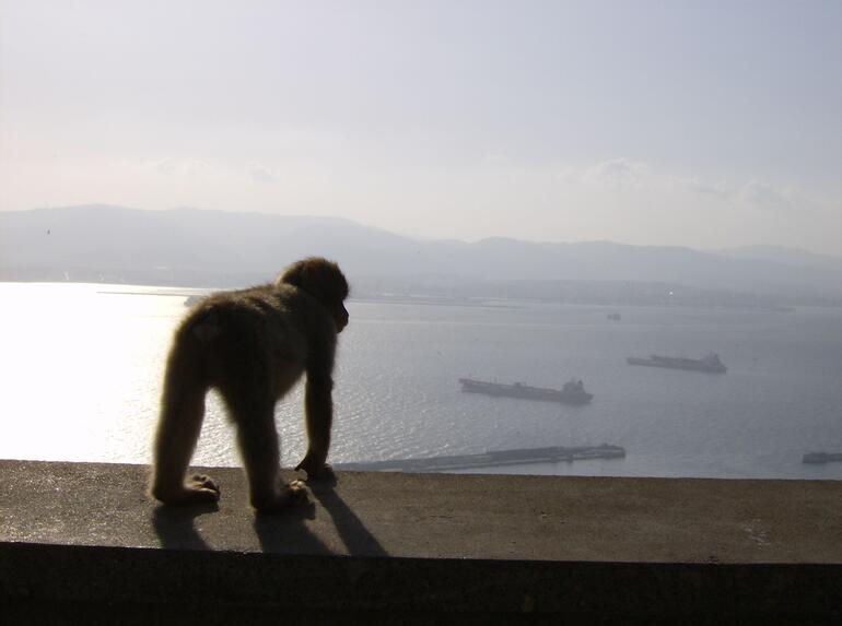 Barbary Apes of Gibraltar -