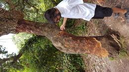 Cork tree , Carson W - August 2017