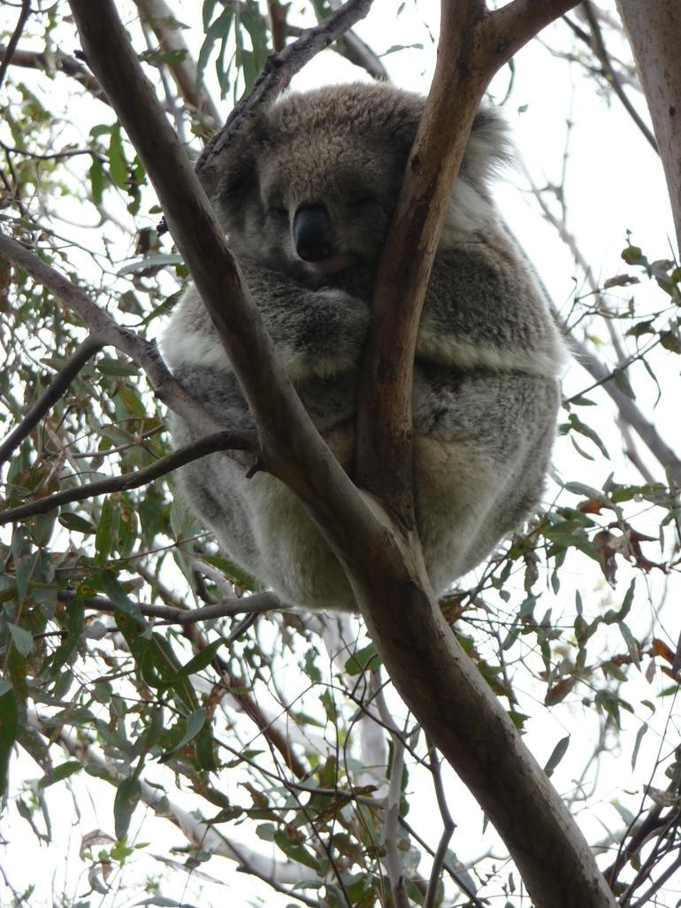 female koala - Melbourne